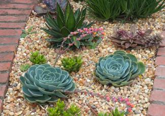 Succulents in gravel