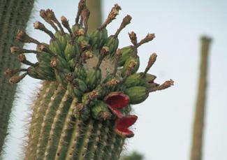 Saguaro Cactus Fruit