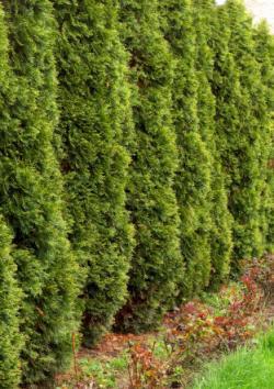 Arborvitae Green Giant