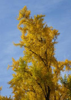 Autumn Gold Ginko