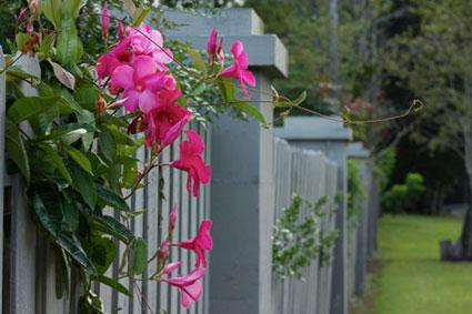 mandevilla on fence