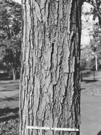 Sugar Maple Trunk
