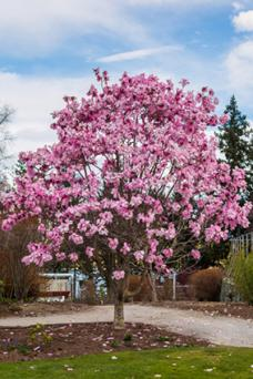 10 Popular Flowering Trees Lovetoknow