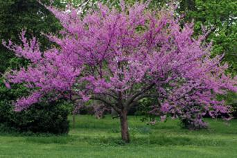 10 popular flowering trees eastern redbud tree mightylinksfo