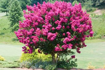 10 Popular Flowering Trees Lovetoknow