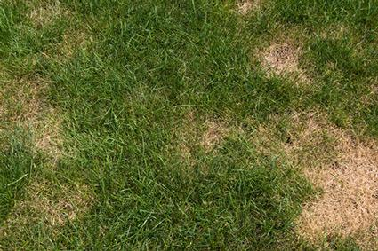 Brown Patched Lawn