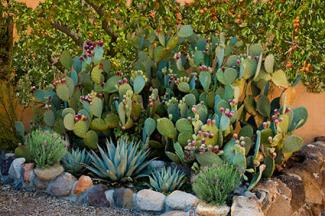 Desert garden with edibles
