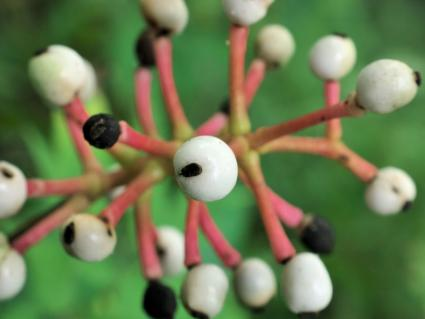 Crazy-looking White Baneberry plant