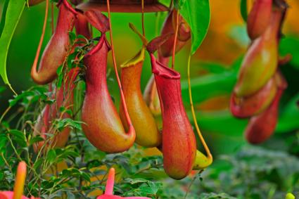 Photo of a pitcher plant
