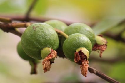 Guava Fruit