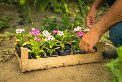 Transplanting cuttings