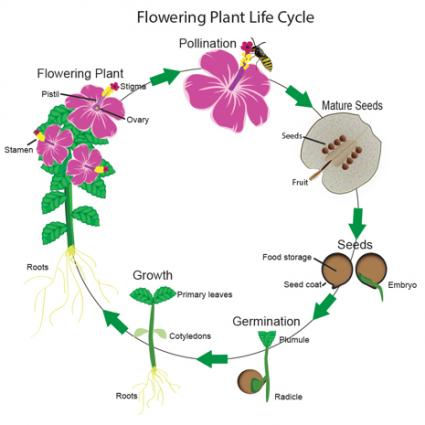 Flowering plants life cycle mightylinksfo