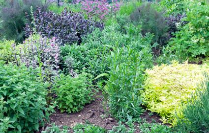 Herbs in a vegetable garden
