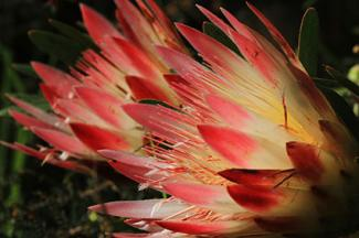 Flame-like petals of a Protea flower