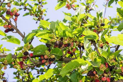 Mulberries On Branch