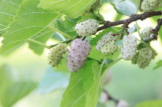 Mulberry Trees Lovetoknow