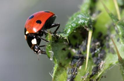 Beneficial ladybugs