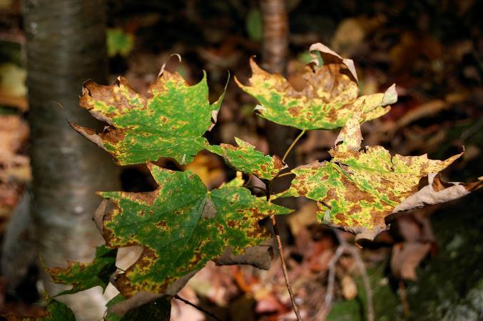 diseased maple sapling