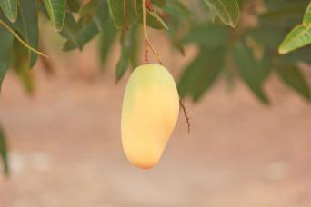 Indochinese type mango