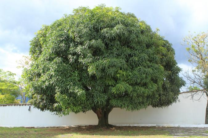 Big Mango Tree