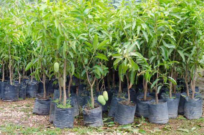 Mango trees in plastic bags