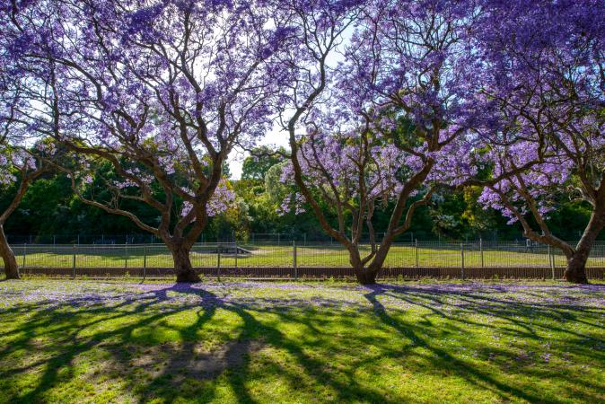 Jacaranda trees in row