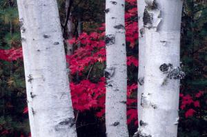 Aspen bark