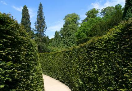 Dense yew hedge