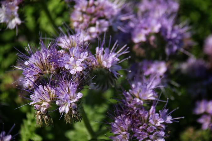Phacelia Blooming Outdoors
