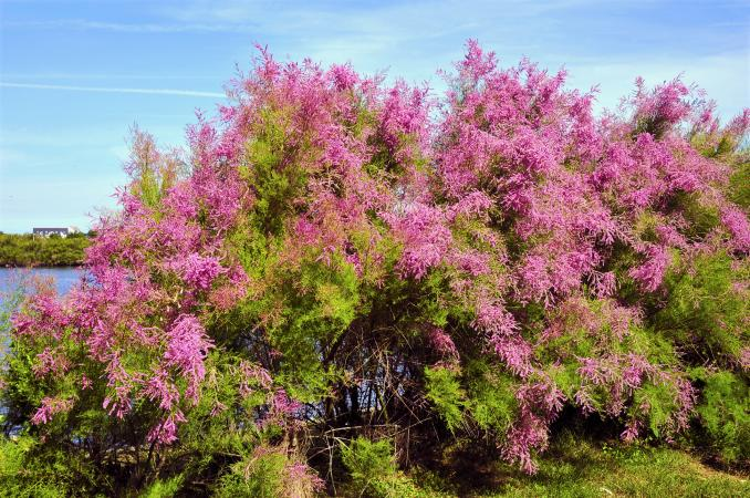 Tamarisk tree