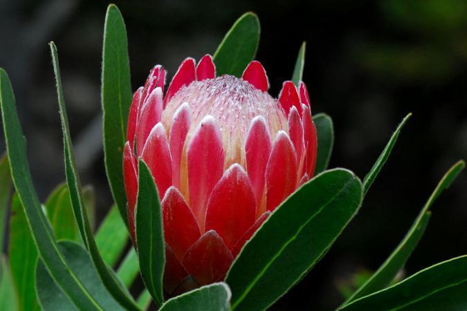 Protea Flowers Lovetoknow