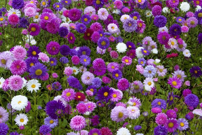 Aster Flower Bed