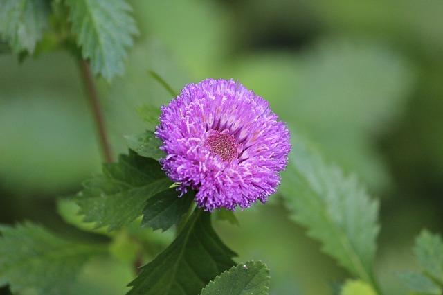 Aster toothy foliage