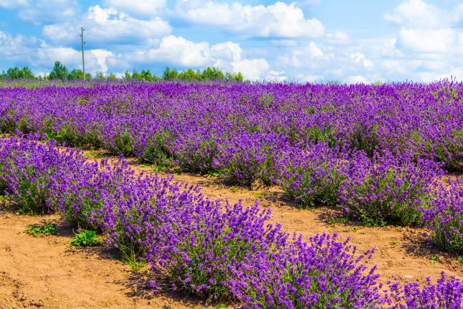 lavender in sandy soil