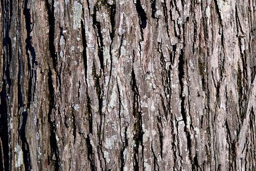Hickory bark