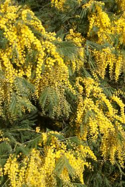 Acacia yellow blossoms