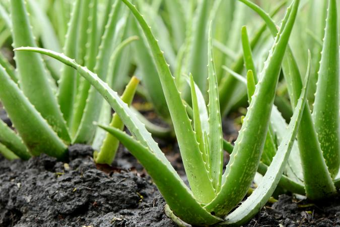 growing aloe vera plants lovetoknow. Black Bedroom Furniture Sets. Home Design Ideas