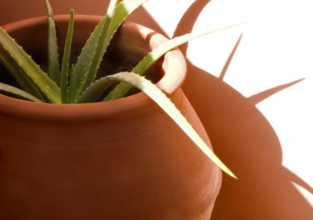 aloe in terracotta urn