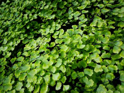 Maidenhair ferns - Adiantum