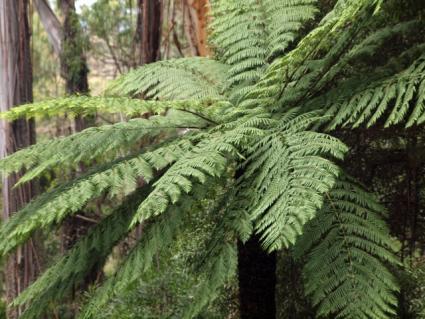 Australian Tree Fern - Cyathea cooperi