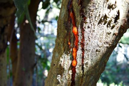 Brown resin on mango tree