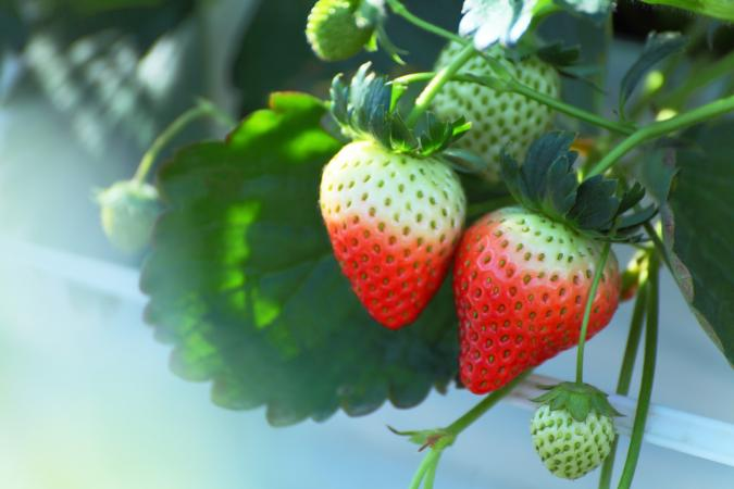 How To Take Care Of Outdoor Strawberry Plants In The Winter