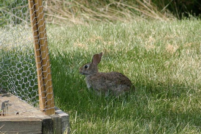 Rabbit outside rabbit-proof fence