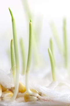 Closeup on germination of corn kernels
