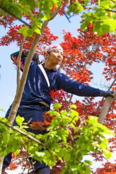 Gardener pruning trees
