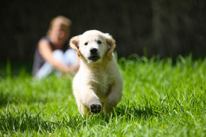 Golden Retriever puppy running on grass