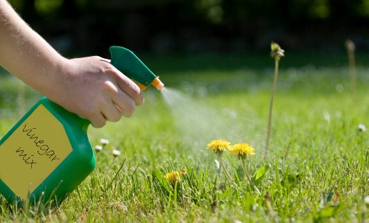 Spraying dandelions with homemade weed killer