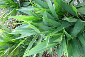 Alpinia Galanga Houseplant