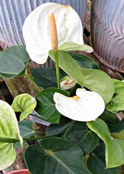White Anthurium houseplant