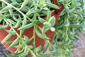 fishhook plant